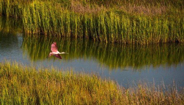 Birding - Roseatte Spoonbill 2.jpg
