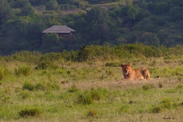 Lion and Camp on the Mara