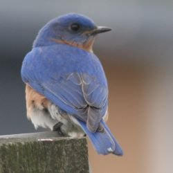 eastern_bluebird_-_male250.jpg
