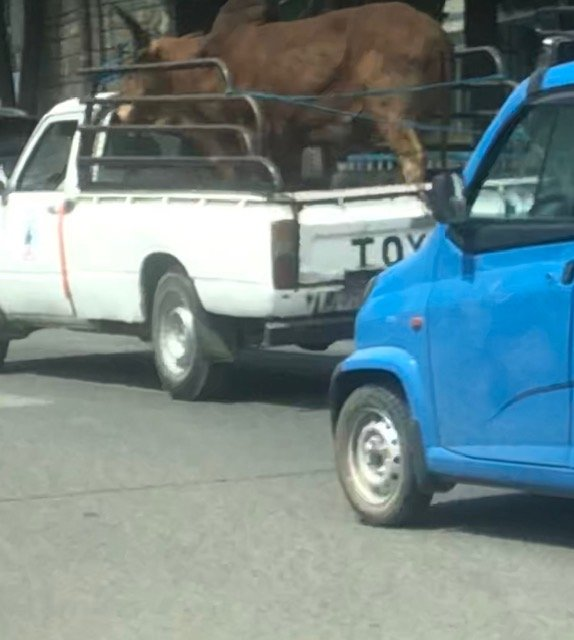 Of course.  A van with a bull in the middle of a midday traffic jam.  No one looked twice.