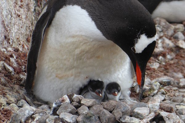Penguin nesting with chicks