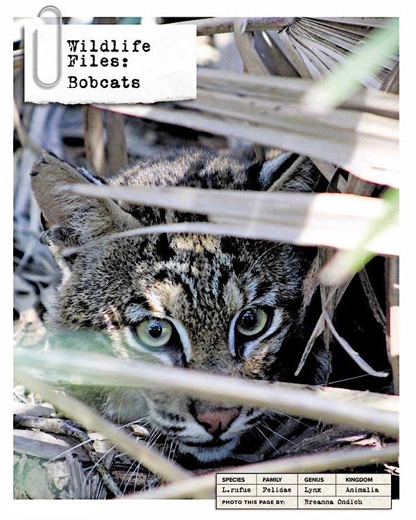 Wildlife Files Bobcat