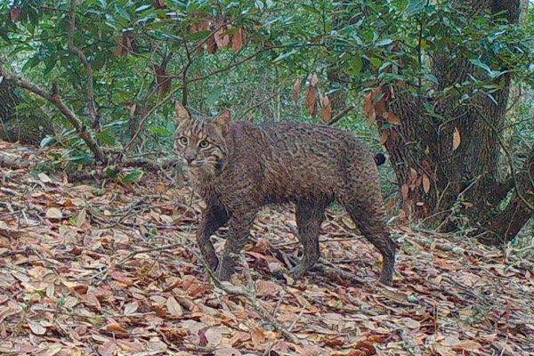 Bobcat on Trailcam