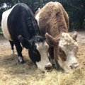 The Farm at Oatland Cows