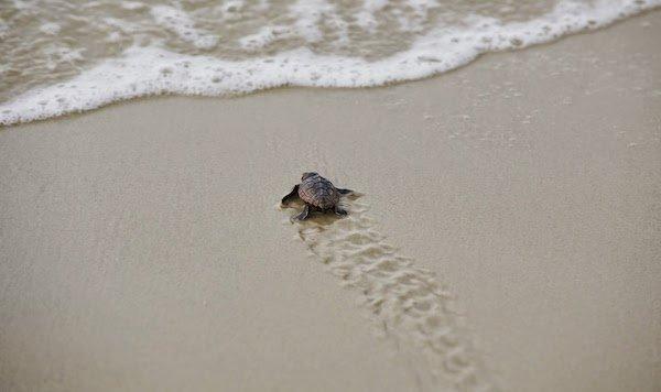 Turtle Crawl JI.jpg