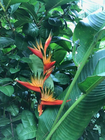 Bird of Paradise Saint Lucia.JPG.jpg