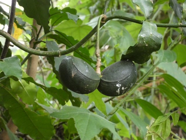Testicle Fruit