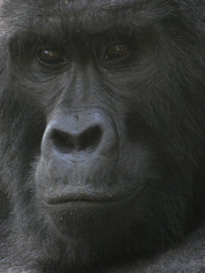 Gorilla close-up