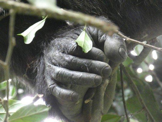 Chimp Knuckles