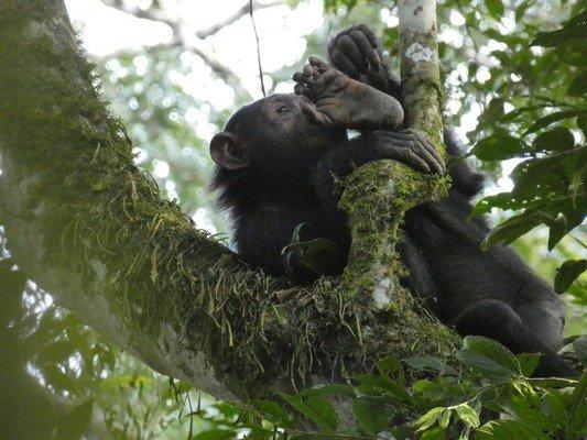 Juvenie Chimp